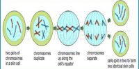 Why Mitosis means Equational Division?