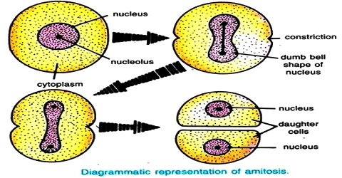 Procedure of Amitosis in Cell Division