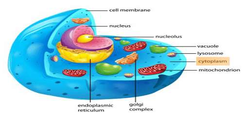 Cytoplasm: Definition with Functions