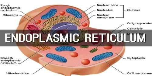 Endoplasmic Reticulum Definition with Function