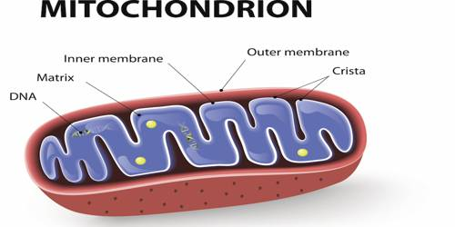 Mitochondria Definition with Functions