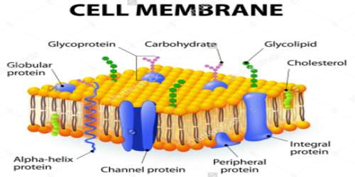 a study of the environment on the cell membrane Cell gets larger and exerts turger pressure on the cell wall, causing the cell to become turgid -lysis: process in which a cell is in a hypertonic environment, and the cell eventually breaks apart.