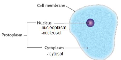 Functions of protoplasm in living cell qs study function it carries out all the procedures essential for life it procedures nutrients and oxygen transform food into living matter ccuart Images