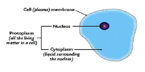 Functions of Protoplasm in Living Cell