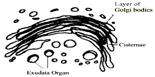 Structure of Golgi bodies