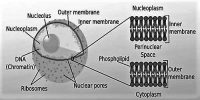 Nucleoplasm Definition with Function