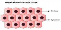 Meristamatic Tissue