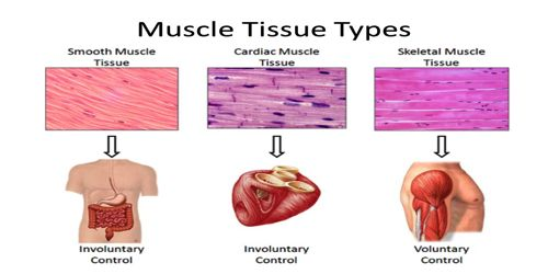 Cardiac Muscle Qs Study