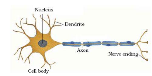 Diagram of a nervous tissue circuit connection diagram nerve tissue of animal qs study rh qsstudy com diagram of a nervous tissue labelled diagram of nervous tissue ccuart Image collections