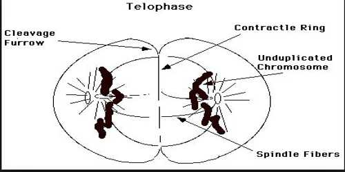 Telophase Phase of Cell Division - QS Study