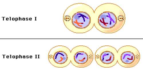 Telophase Phase of Cell Division