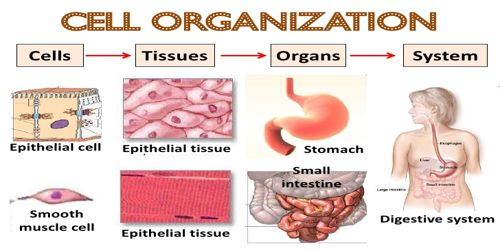 Differences between Tissue and Cell