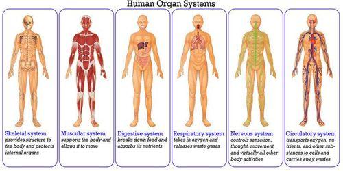 Animal Body Organ Systems Qs Study