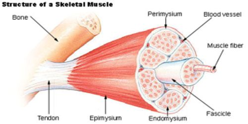Skeletal Tissue in Animals