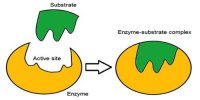 Mechanism of Enzyme Catalysis