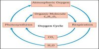 Oxygen Cycle