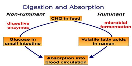 Carbohdyrate (CHO) Digestion and Absorption