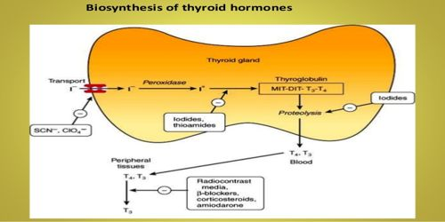 Biosynthesis of Thyroid Hormone