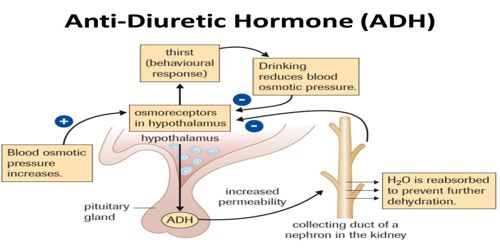 Function of action of Antidiuretic hormone (ADH)