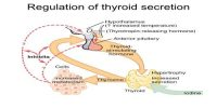 Regulation of Thyroid Hormone Secretion (THS)
