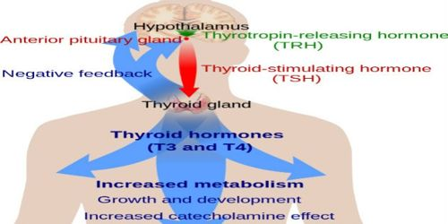 Mechanism of Action of Thyroid Hormone