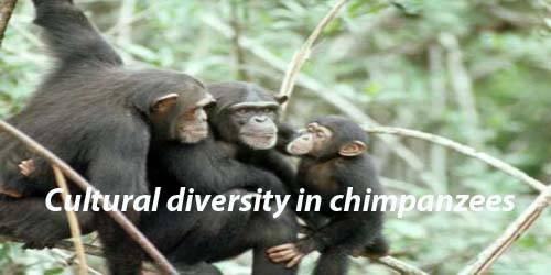 Cultural diversity in chimpanzees