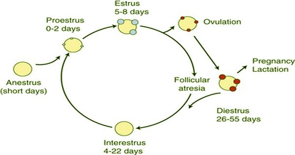 Reproductive cycle in cats